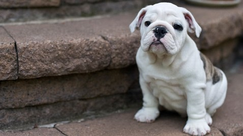 gty bulldog puppy mi 121210 wblog Airport Scam Dupes Unsuspecting Pet Buyers