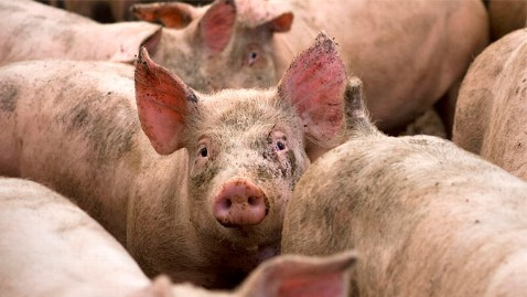 gty pig farm conditions nt 120213 wblog McDonalds Asks Pork Distributors for Humane Reforms