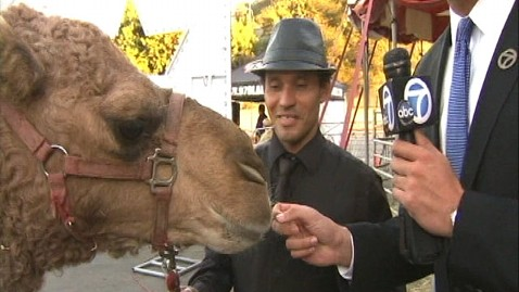 abc gma camel2 jt 121124 wblog Camel Roams Southern California Streets After Escaping Circus