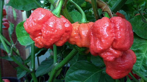 ap trinidad moruga scorpion hottest pepper ll 120216 wblog Trinidad Moruga Scorpion Crowned Worlds Hottest Pepper