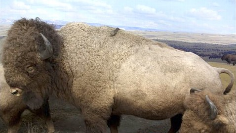 ht bison jp 111205 wblog American Museum of Natural History Gives Its Species Extreme Animal Makeovers