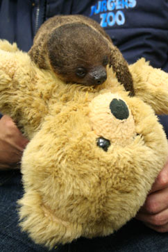 ht christiaan luttenberg dm 120723 vblog Baby Sloth Clings to Teddy Bear for Life