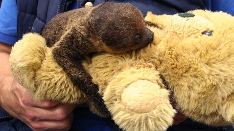 ht christiaan luttenberg dm 120723 wblog Baby Sloth Clings to Teddy Bear for Life