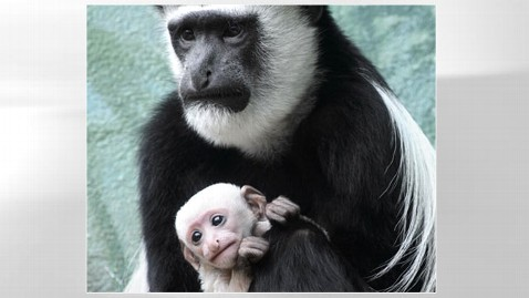 ht colobus monkey dm 121123 wblog Baby Colobus Monkey on Display at St. Louis Zoo