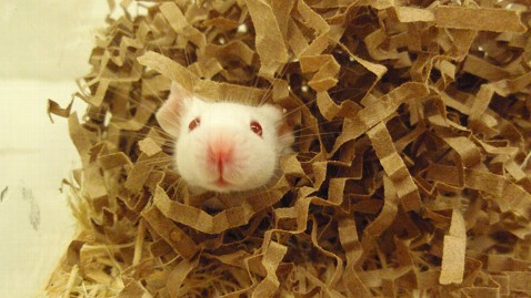 ht mouse in nest jt 120329 wblog Keeping Chilly Lab Mice Warm: Key to Better Science?