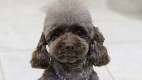 HO japan poodle 120410 wblog Another Toy Poodle Joins Japanese Police Ranks