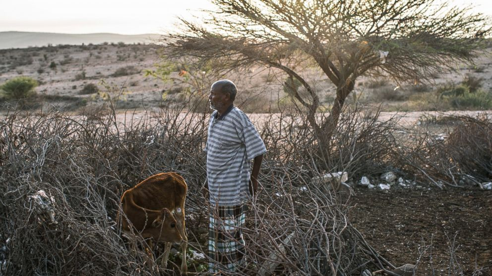 PHOTO: Daud Mohamed with his last remaining calf at dawn, in Gebiley, Somalia, amidst a severe drought that swept across northwestern Somalia last spring.