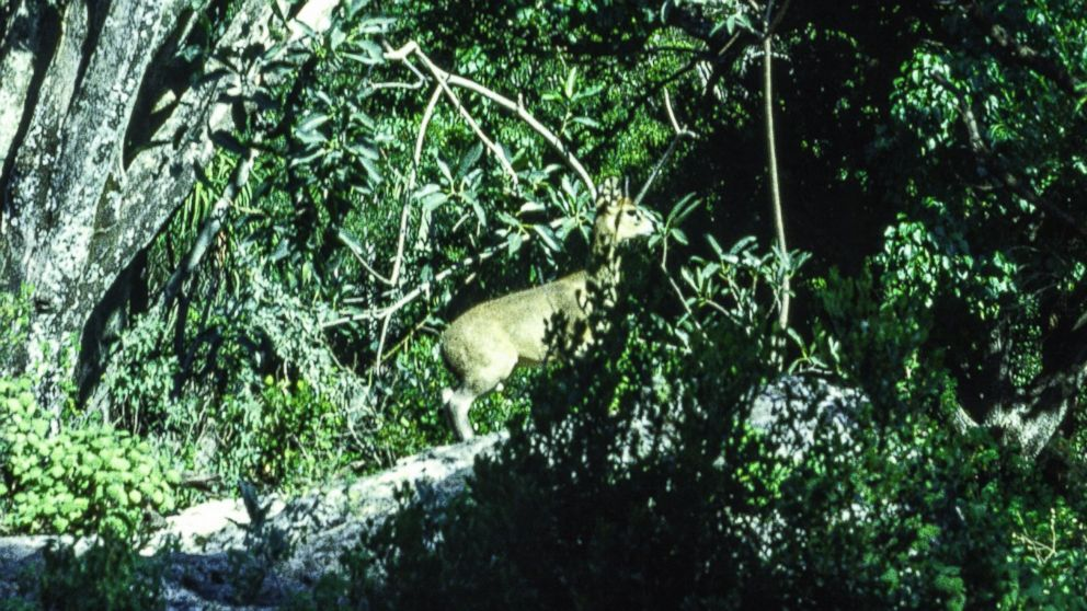 PHOTO: A small deer is seen amidst lush foliage. In the 1970s and 80s an intrepid team of scientists - working with American funding and Soviet maps at the height of the Cold War, carried out the most comprehensive land survey of Somalia ever completed.