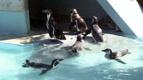 abc japan zoo penguins ll 120821 wblog Rogue Penguins Break Out of Zoo Yet Again