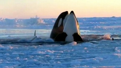 abc killer whales jef 130110 wblog Killer Whales Trapped Under Canadian Sea Ice