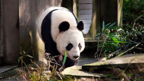 ap Panda Tian Tian jt 111204 wblog Giant Pandas Arrive in Scotland