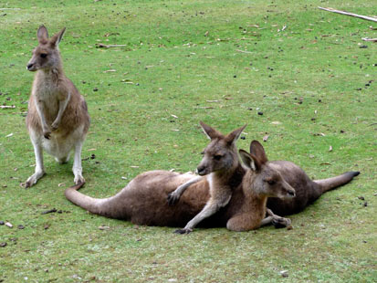 ap kangaroo jef 120103 main Kangaroo Attack: 7 Year Old Girl Barely Escapes With Her Life