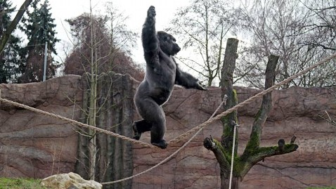 ap kidogo gorilla tightrope ll 130104 wblog Instant Index: Bond Academy and a Star Is Born at the Zoo