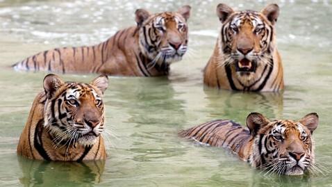 epa tiger temple 4 dm 120426 wblog Thailands Tiger Temple Draws Tourists