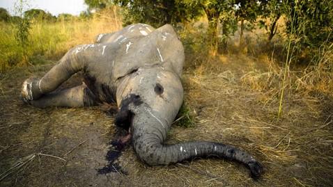 gty poached elephant kb 130206 wblog 11,000 Elephants Poached, Group Says