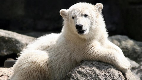 gty polar bear knut nt 111223 wblog VIDEO: Baby Polar Bear Cub Nursed by Humans When Mother Couldnt Feed It