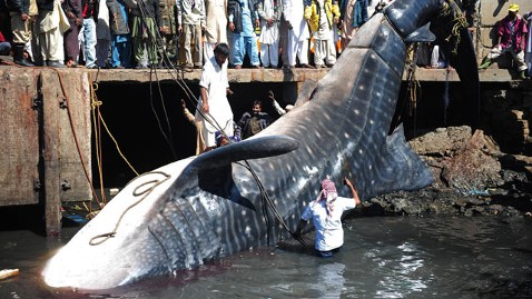 gty whale shark pakistan 3 wy 120207 wblog Giant Whale Shark Reeled In By Pakistani Fisherman