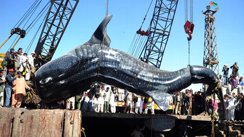gty whale shark pakistan 4 wy 120207 wblog Giant Whale Shark Reeled In By Pakistani Fisherman