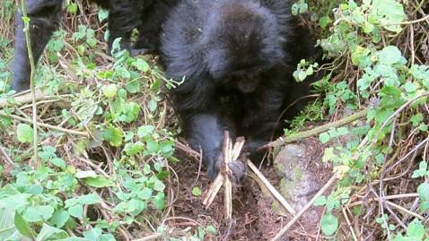 ht gorilla snare ll 120725 wblog Gorillas Seen Dismantling Deadly Poacher Traps
