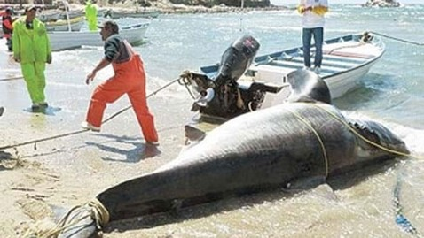 ht great 2 white shark dm 120419 wblog Jaws Dad? 2,000 Pound Shark Caught in Mexico