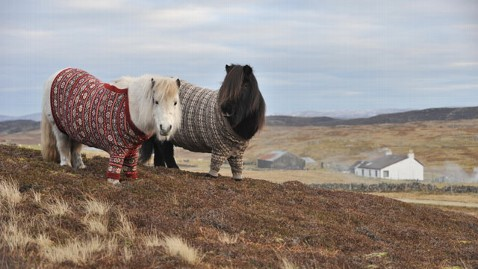 ht shetland ponies kb 130124 wblog Scotland Welcomes Tourists With Ponies in Cardigans