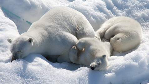 ht to the arctic ll 120416 wblog Polar Bears on Thin Ice in New IMAX Movie