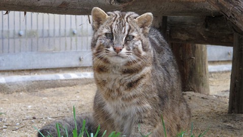 ht tsushima leopard cat ll 121005 wblog That Cranky Old Cat May Have Alzheimers