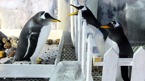 nc gay penguin 111207 wblog Chinas Gay Penguins Adopt