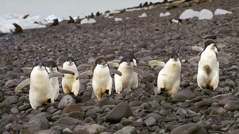 rex penguins antarctica ll 120227 wblog Chinstrap Penguins Get Their Dance On in Antarctica