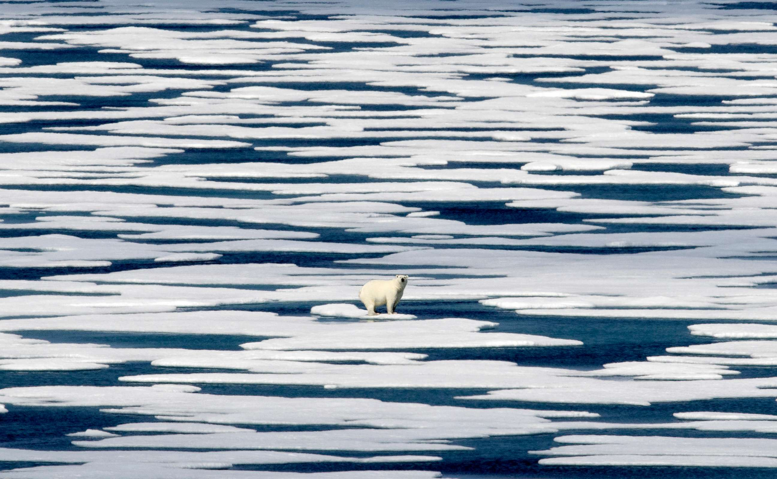 Image result for A polar bear stands on a patch of ice in the Franklin Strait in the Canadian Arctic Archipelago on July 22, 2017.