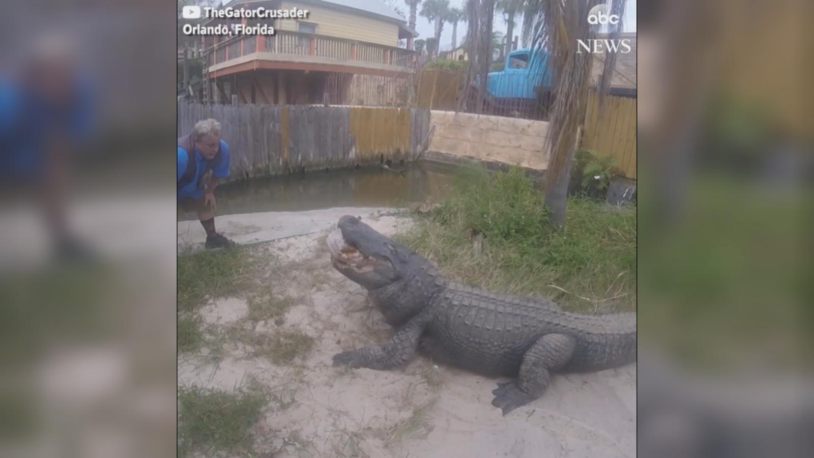 VIDEO: The large reptiles dined on turkey in Orlando, Florida.