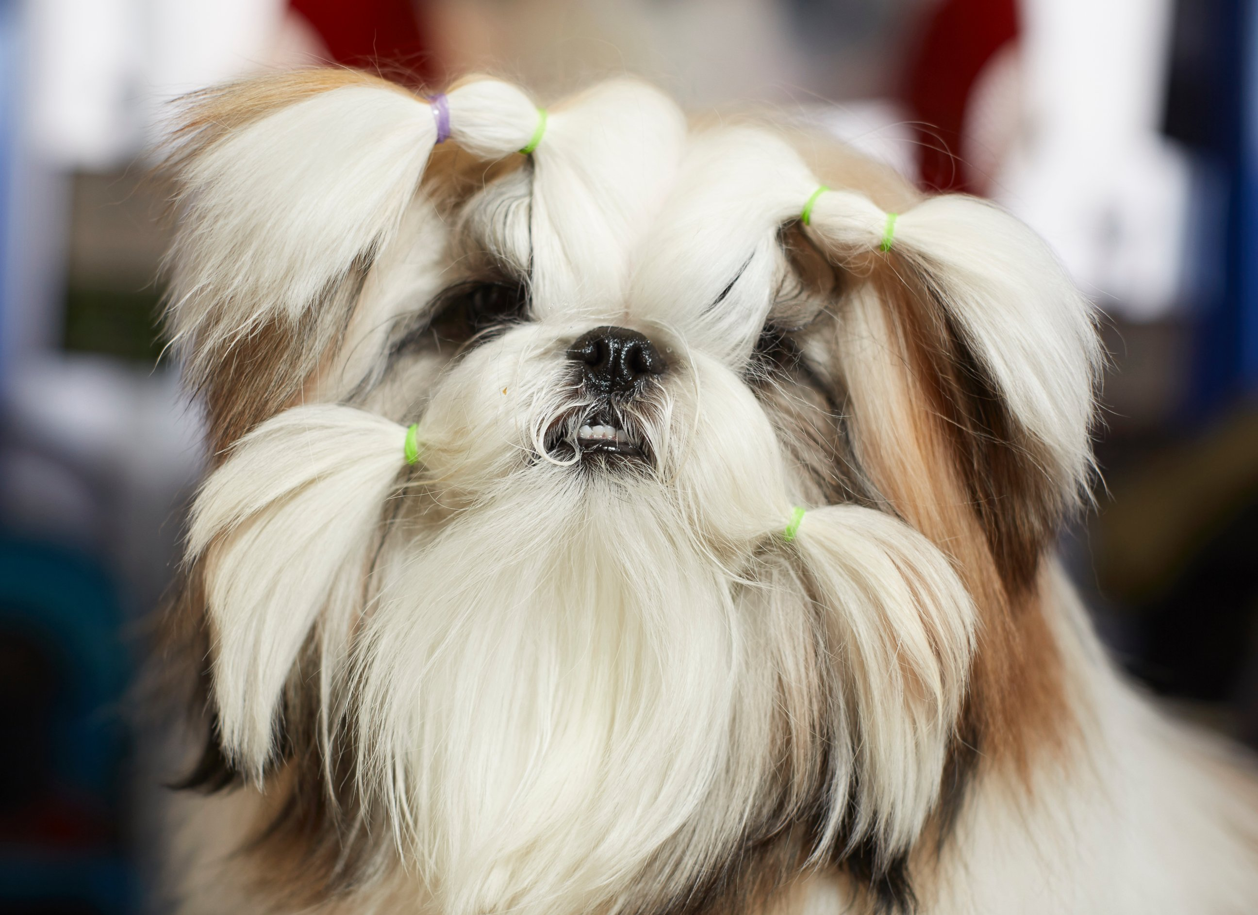Westminster Dog Show Videos At Abc News Video Archive At