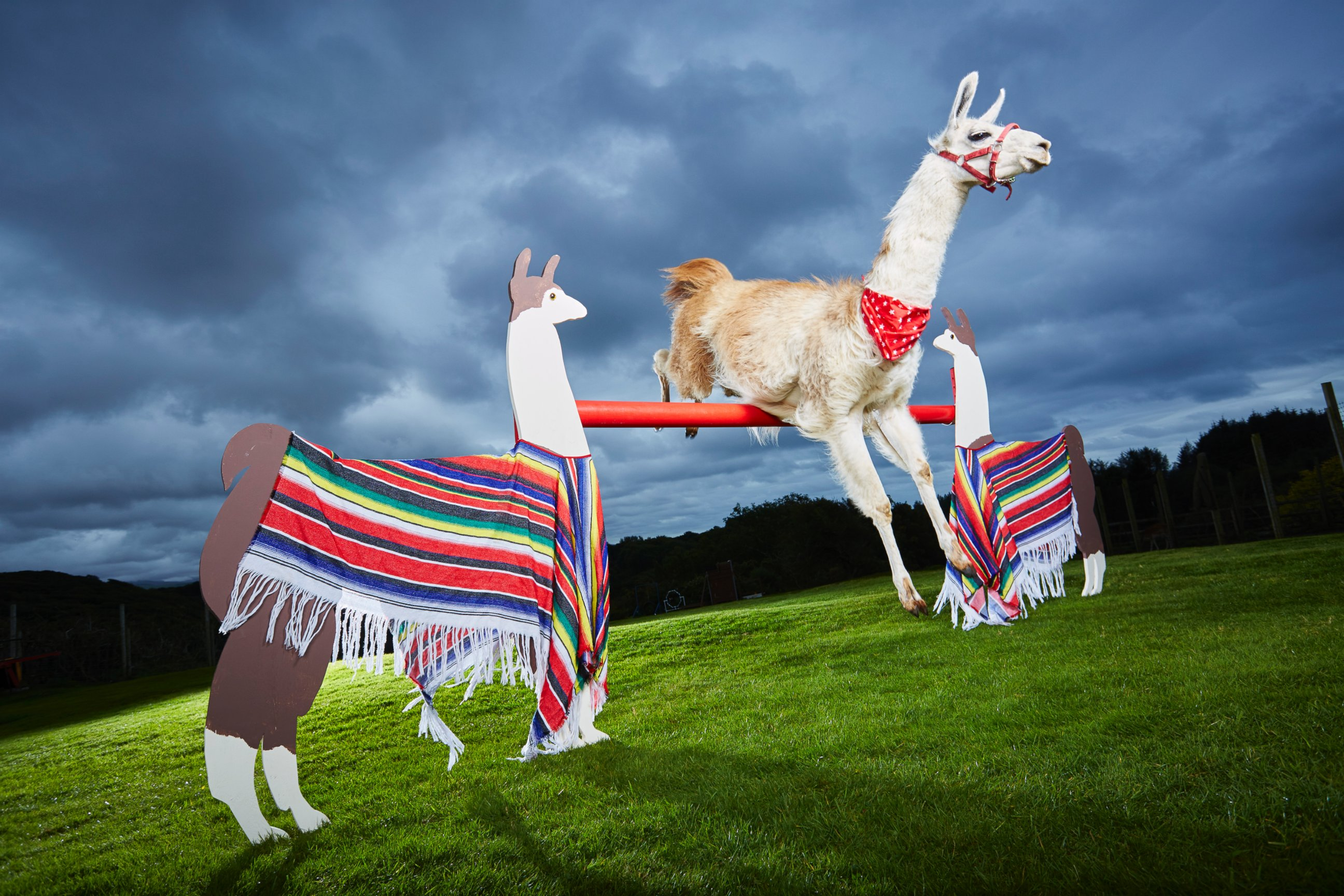 caspa the lama of porthmadog wales has entered the 2017 guinness book of world records for highest jump by a llama