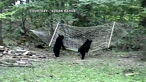 abc bears hammock jp 111007 wblog Video Reveals How Bears Take a Break