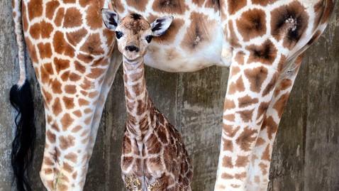 ap baby giraffe nt 130325 wblog Michael Jacksons Moonwalk Turns 30