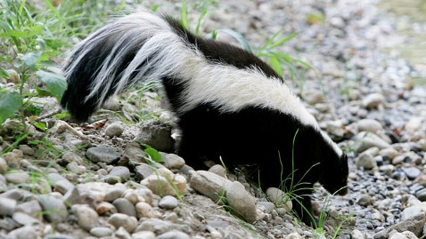 gty skunk tk 120201 wblog Skunks Invade Sacramento During Mating Season