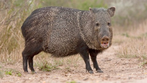 gty wild pig thg 120424 wblog Florida Man Mistakes Girlfriend for a Hog, Shoots Her