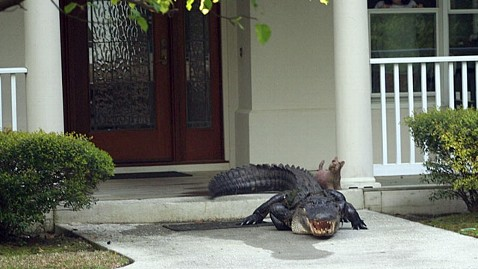 Couple Greeted By 12 Foot Alligator On Front Porch Abc News