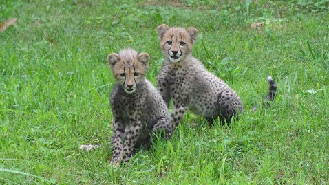 ht dc zoo cheetah cubs nt 120727 wblog Zoos Cheetah Cubs to Be Named After Fastest U.S. Sprinters