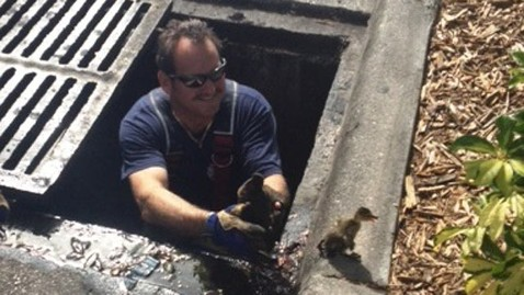 ht ducklings kb 120509 wblog Florida Man Answers Ducks Calls for Help, 9 Ducklings Saved From Storm Drain
