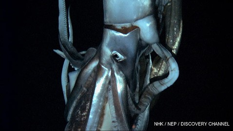 ht giant squid tk 130107 wblog Legendary Giant Squid Captured on Video