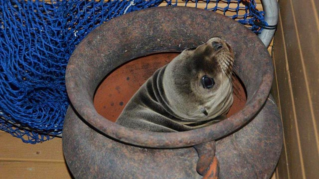 California Rescuers See Spike in Sick Sea Lion Pups on Beaches