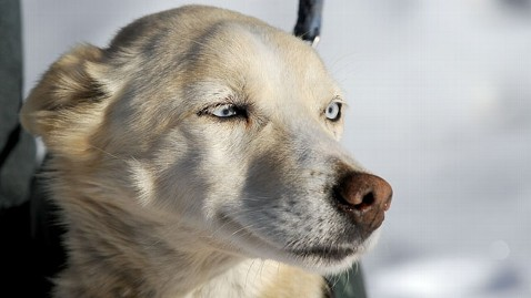 nc may iditarod nt 130315 wblog Iditarod Dog Found 7 Days After Disappearing From Team