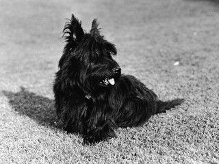 PHOTO: Franklin and Eleanor Roosevelt's pet Scottish Terrier 'Fala,' sits on the grass, 1940s.