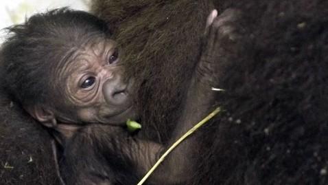 abc baby gorrila nt 120126 wblog Gorilla Moms Maternal Instincts on Display