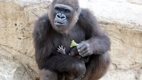 abc martha gorrila nt 120126 wblog Gorilla Moms Maternal Instincts on Display