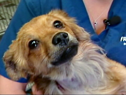 abc rocket fireworks dachscund ll 120525 main California Dog Burned by Explosives Reunited With Owner
