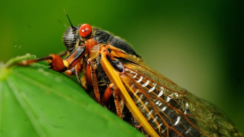 ap cicada kb 130527 wblog Not Near the Cicadas? Watch Them on Live Cicada Cam
