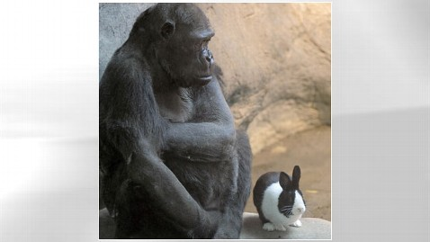 ap gorilla bunny zoo nt 120312 wblog Unlikely Animal Pair: Aging Gorilla, Bunny Are New Pals