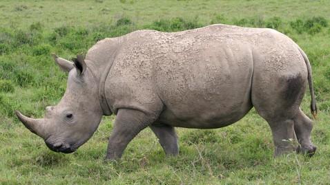 ap white rino tk 120321 wblog Zoo Probes Mysterious Death Of Rare White Rhinos